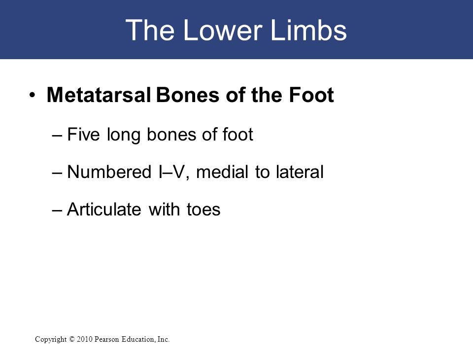 The Lower Limbs Metatarsal Bones of the Foot Five long bones of foot