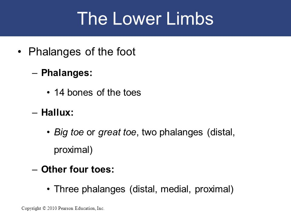 The Lower Limbs Phalanges of the foot Phalanges: 14 bones of the toes