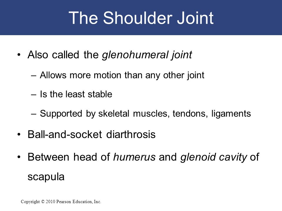 The Shoulder Joint Also called the glenohumeral joint