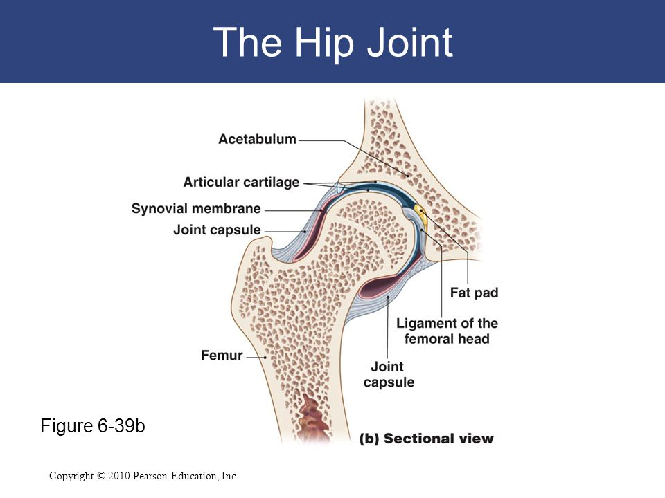 The Hip Joint Figure 6-39b