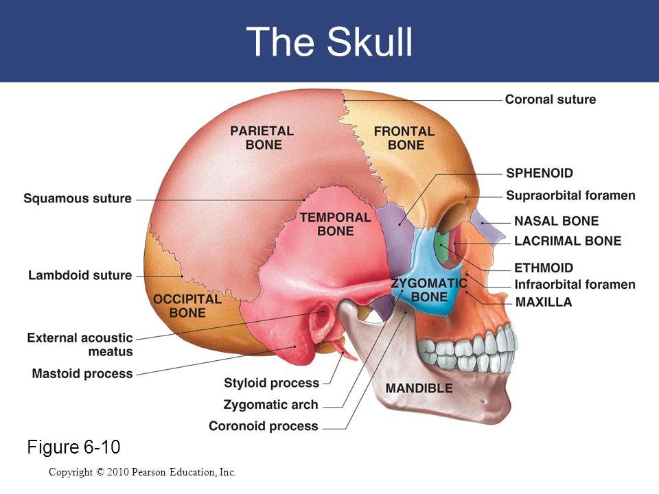 The Skull Figure 6-10