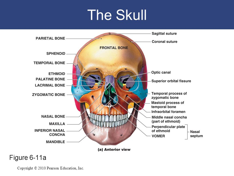 The Skull Figure 6-11a