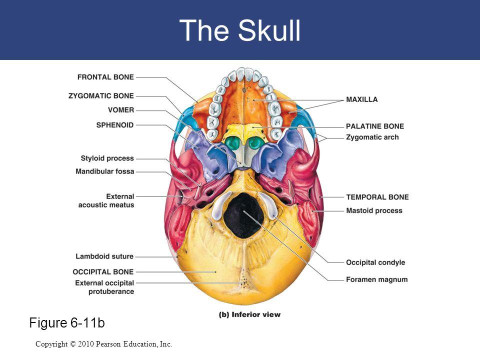 The Skull Figure 6-11b