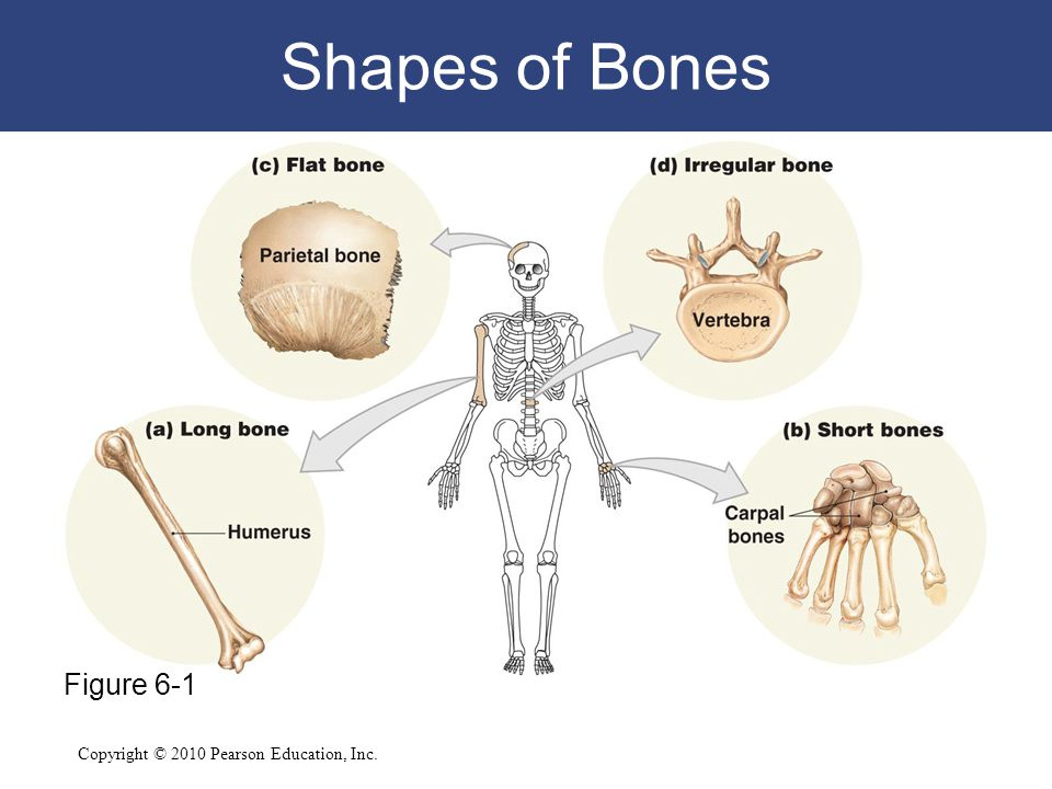 Shapes of Bones Figure 6-1