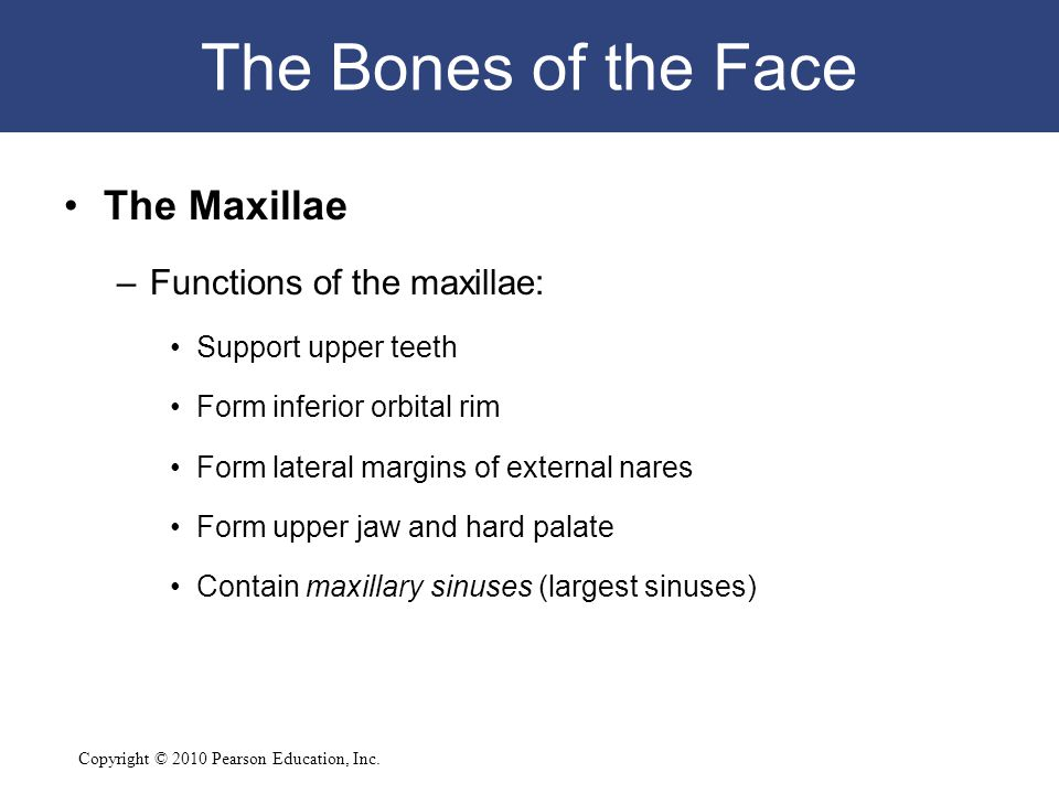 The Bones of the Face The Maxillae Functions of the maxillae: