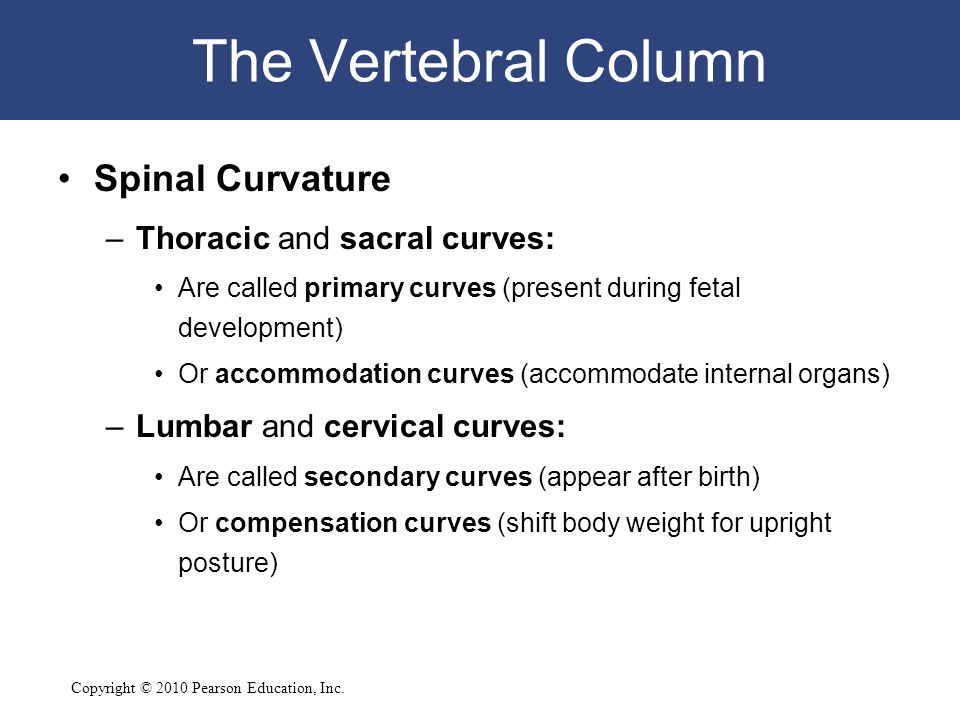 The Vertebral Column Spinal Curvature Thoracic and sacral curves: