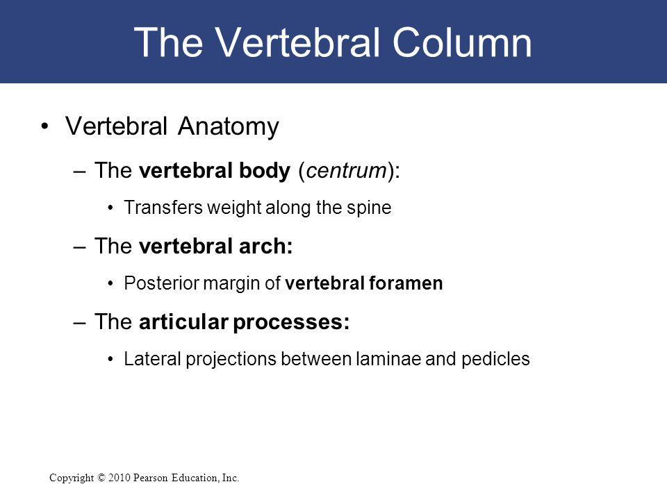 The Vertebral Column Vertebral Anatomy The vertebral body (centrum):