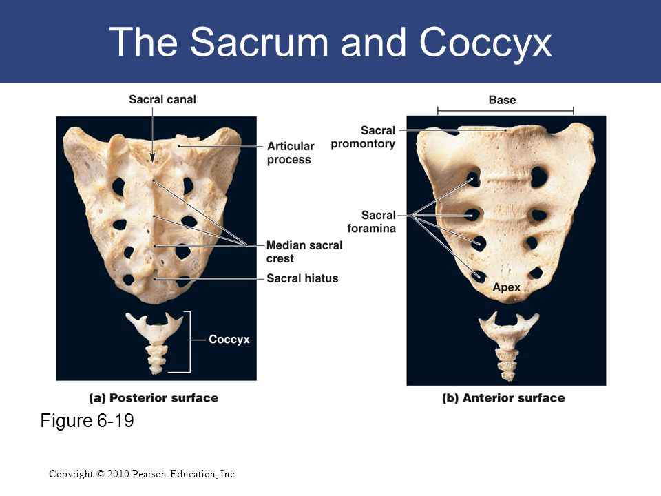 The Sacrum and Coccyx Figure 6-19
