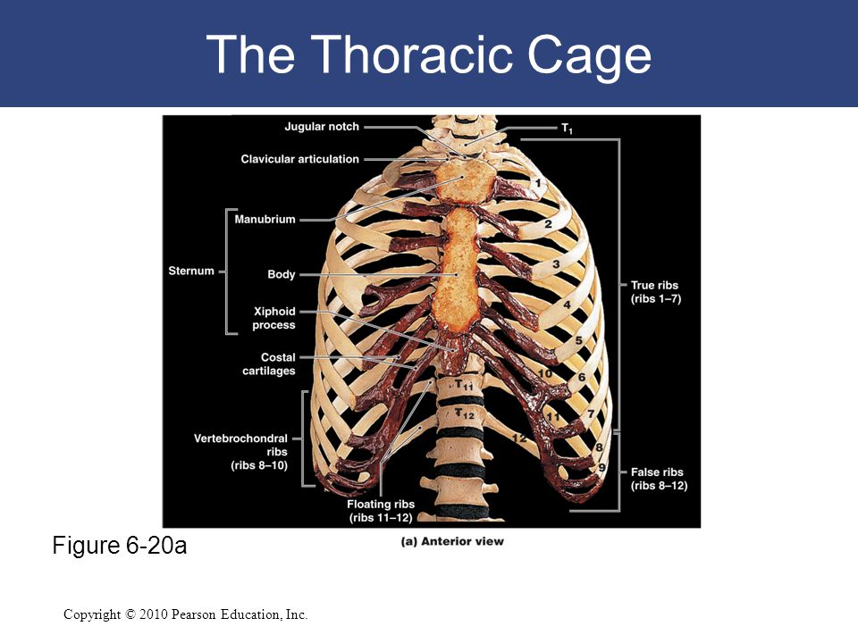 The Thoracic Cage Figure 6-20a