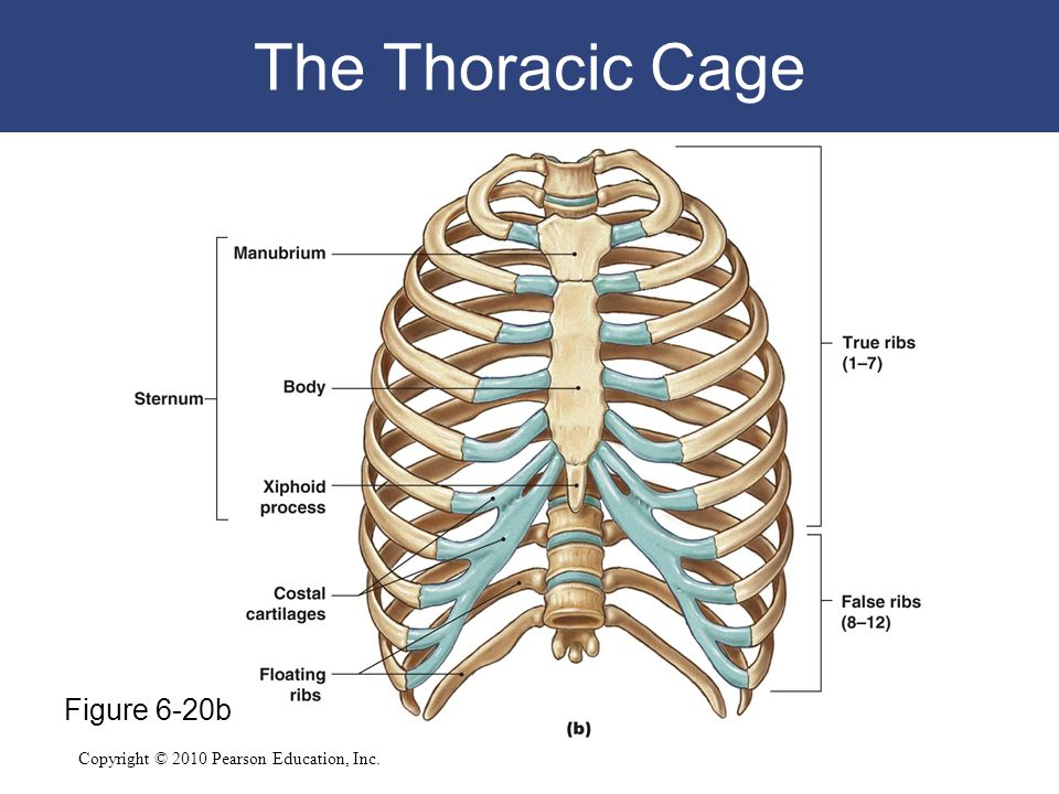The Thoracic Cage Figure 6-20b