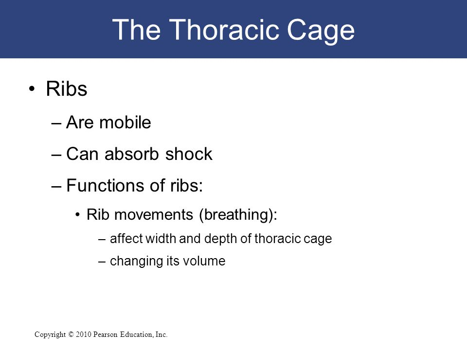 The Thoracic Cage Ribs Are mobile Can absorb shock Functions of ribs: