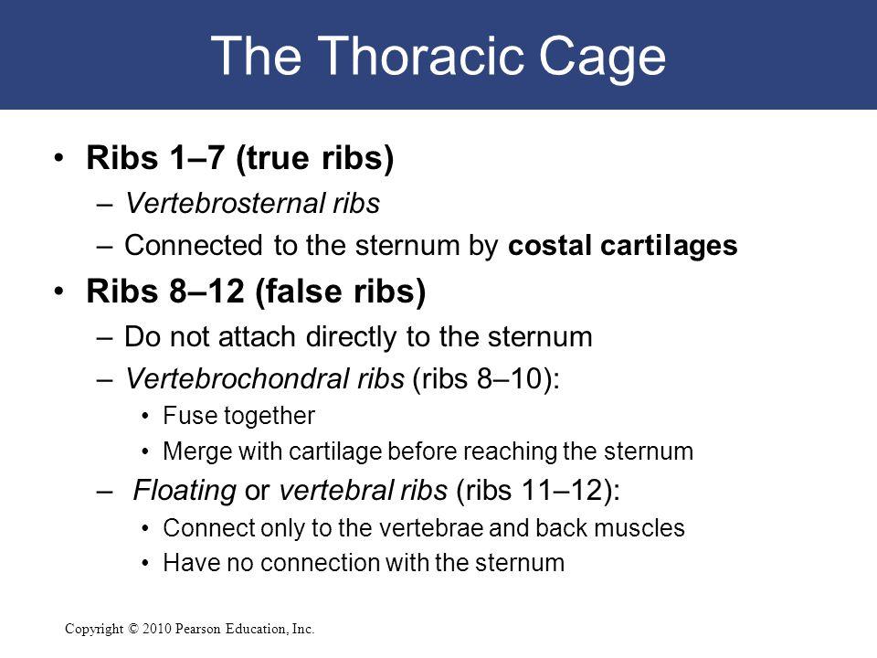 The Thoracic Cage Ribs 1–7 (true ribs) Ribs 8–12 (false ribs)