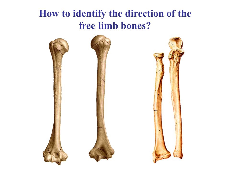 How to identify the direction of the free limb bones