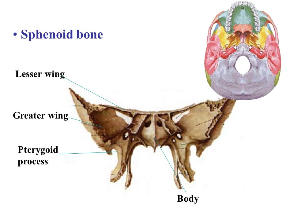 Sphenoid bone Lesser wing Greater wing Pterygoid process Body