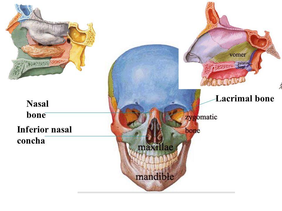Lacrimal bone Nasal bone Inferior nasal concha