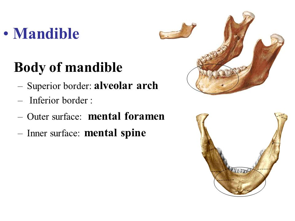 Mandible Body of mandible Superior border: alveolar arch