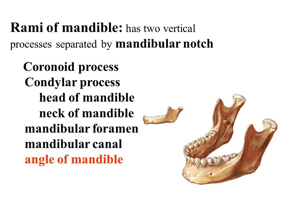 Rami of mandible: has two vertical processes separated by mandibular notch