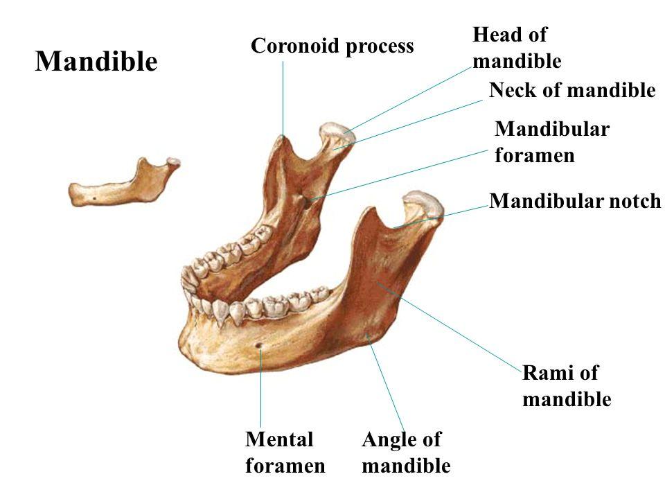 Mandible Head of mandible Coronoid process Neck of mandible