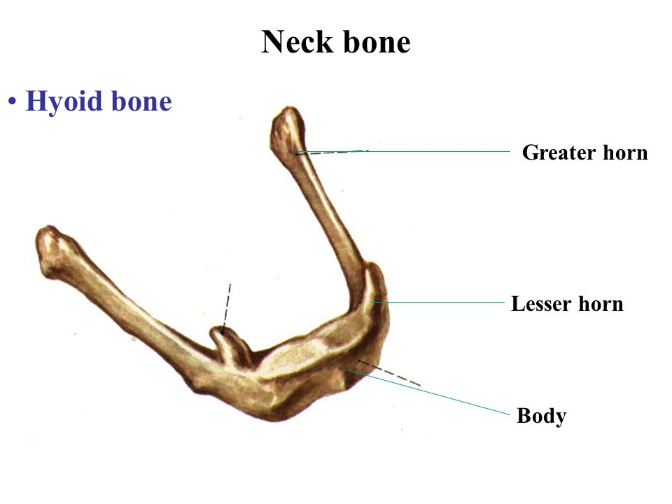 Neck bone Hyoid bone Greater horn Lesser horn Body