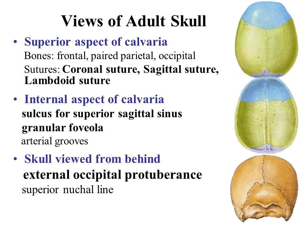 Views of Adult Skull external occipital protuberance