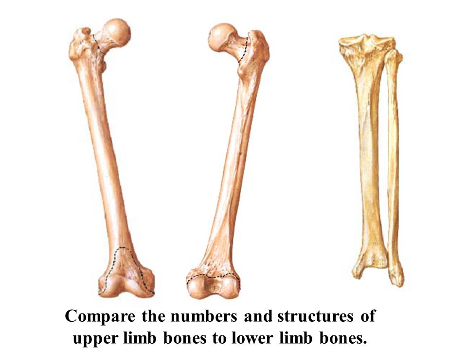 Compare the numbers and structures of upper limb bones to lower limb bones.