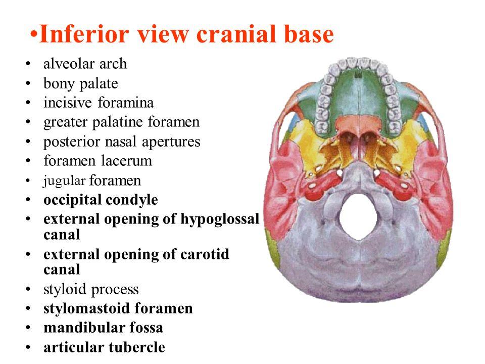 Inferior view cranial base