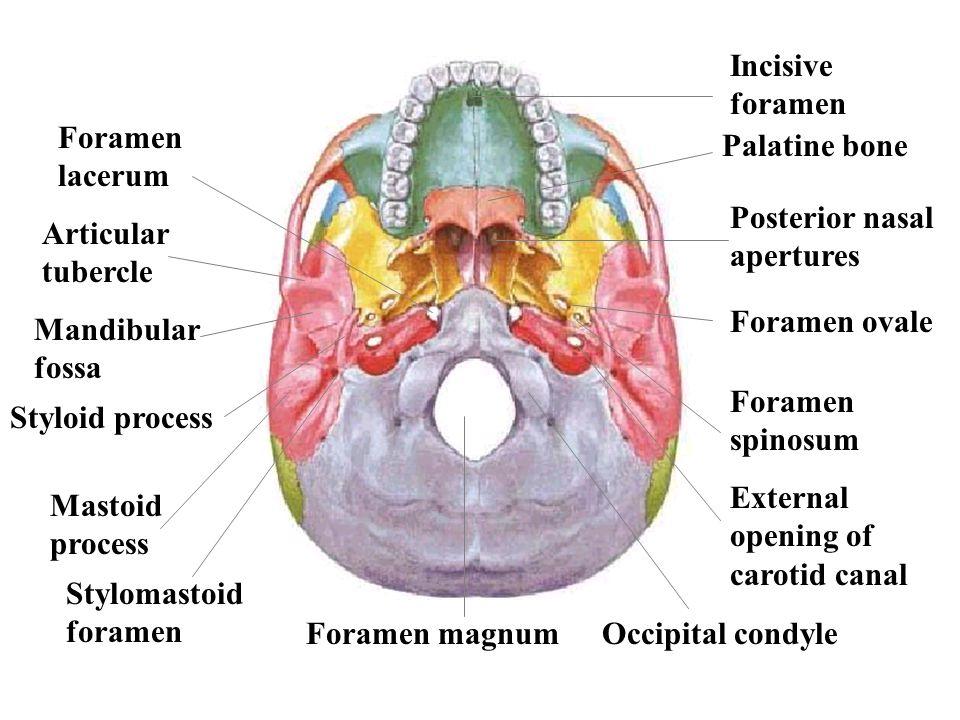 Incisive foramen Foramen lacerum. Palatine bone. Posterior nasal apertures. Articular tubercle. Foramen ovale.