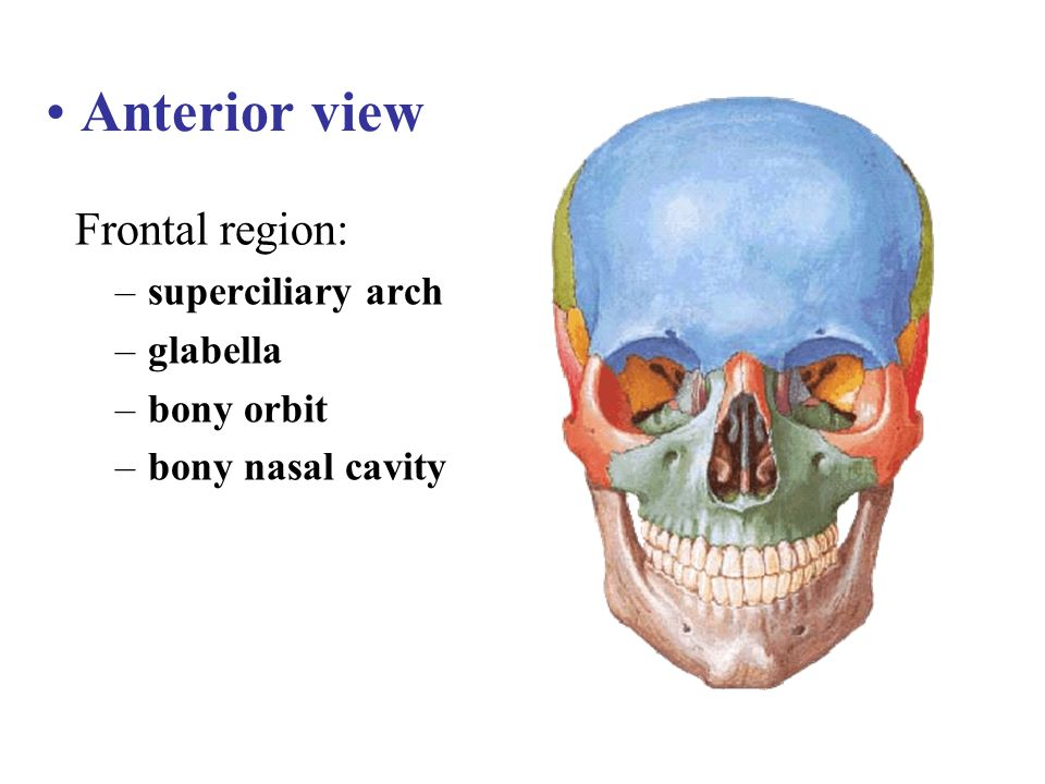 Anterior view Frontal region: superciliary arch glabella bony orbit