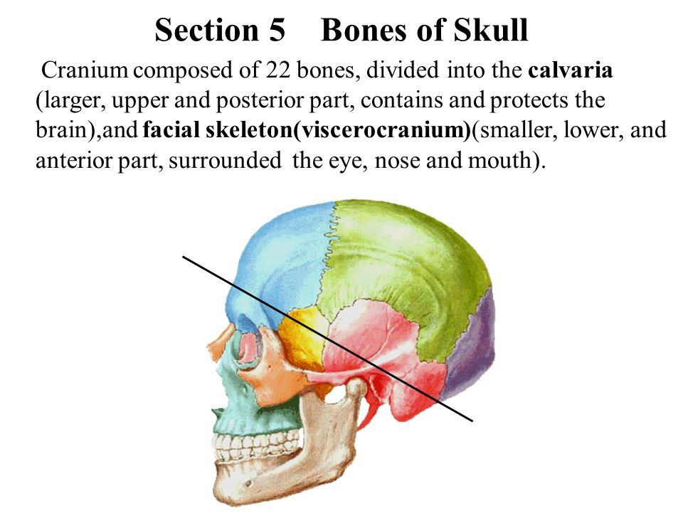 Section 5 Bones of Skull