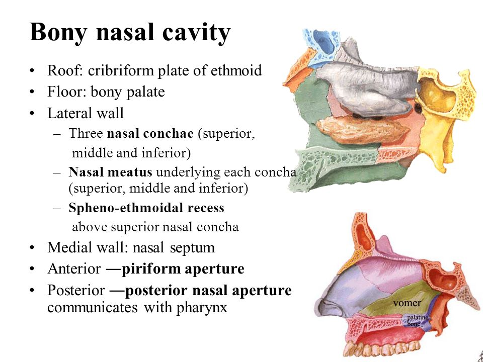 Bony nasal cavity Roof: cribriform plate of ethmoid Floor: bony palate