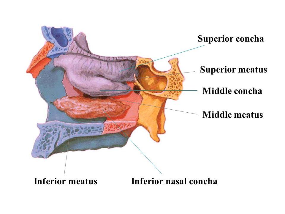 Superior concha Superior meatus Middle concha Middle meatus Inferior meatus Inferior nasal concha