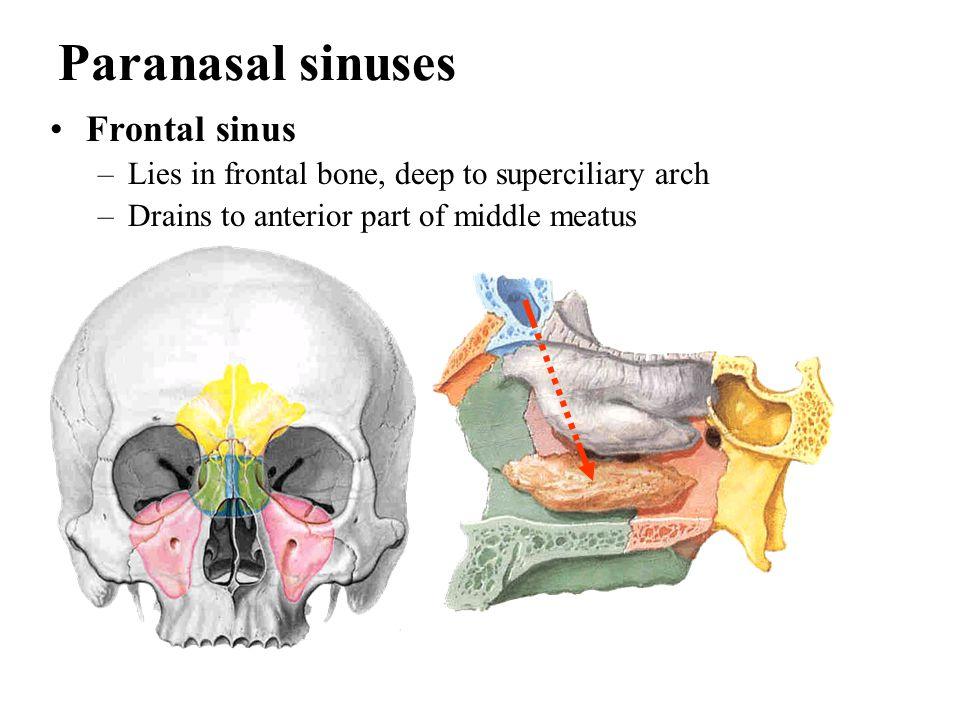 Paranasal sinuses Frontal sinus