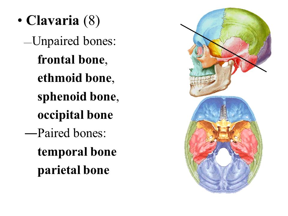 Clavaria (8) frontal bone, ethmoid bone, sphenoid bone, occipital bone