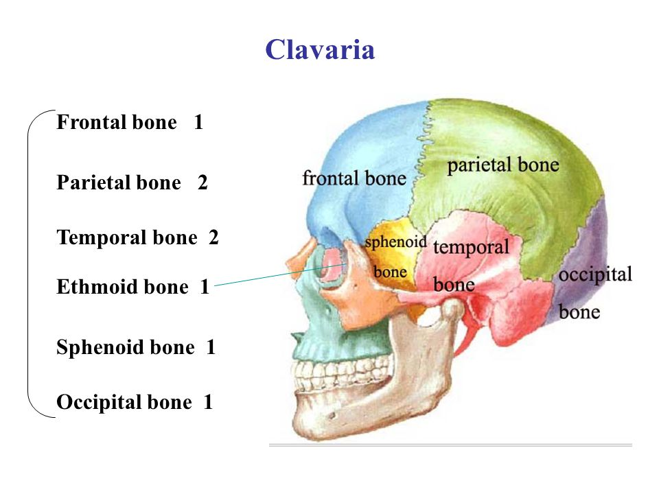 Clavaria Frontal bone 1 Parietal bone 2 Temporal bone 2 Ethmoid bone 1