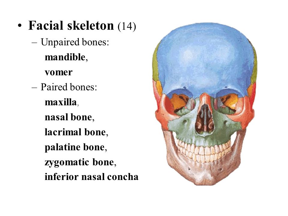 Facial skeleton (14) Unpaired bones: mandible, vomer Paired bones:
