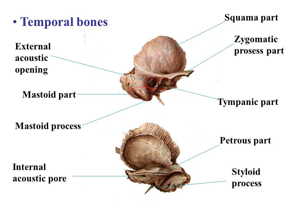 Temporal bones Squama part Zygomatic prosess part