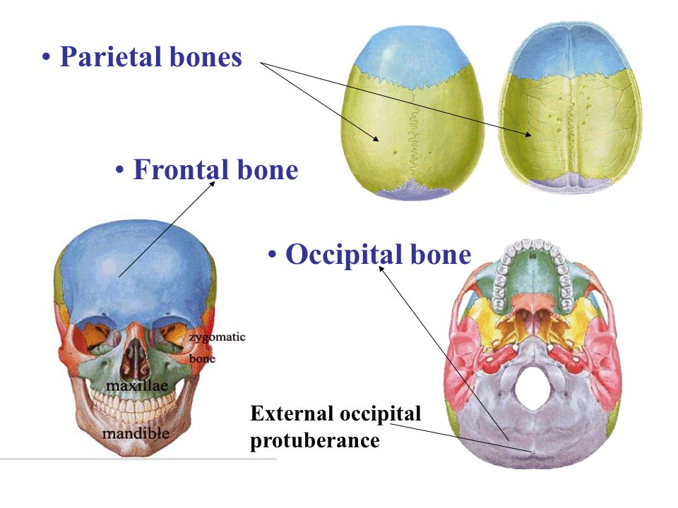Parietal bones Frontal bone Occipital bone