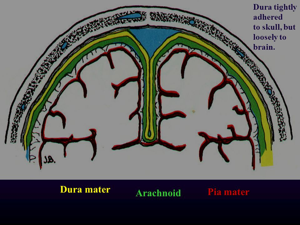 Dura mater Pia mater Arachnoid Dura tightly adhered