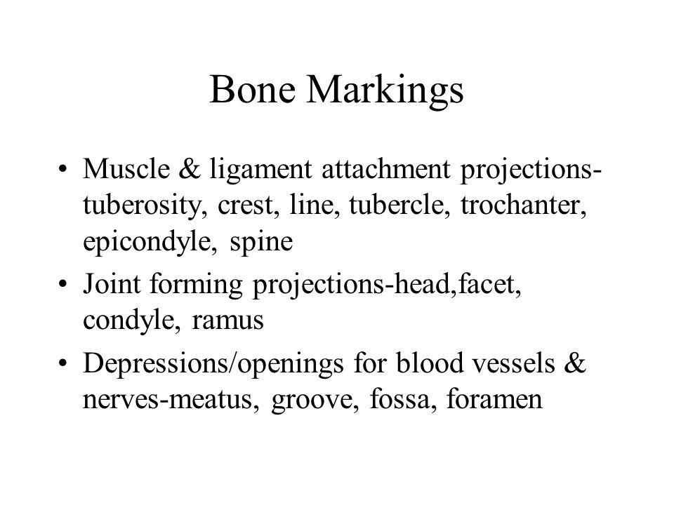 Bone Markings Muscle & ligament attachment projections-tuberosity, crest, line, tubercle, trochanter, epicondyle, spine.