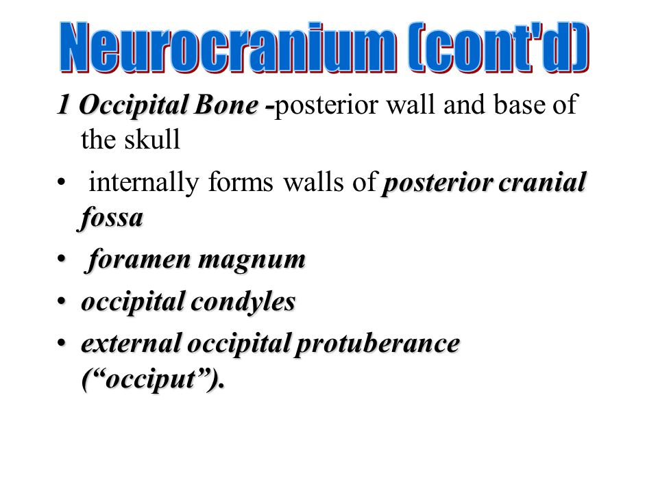 Neurocranium (cont d) 1 Occipital Bone -posterior wall and base of the skull. internally forms walls of posterior cranial fossa.