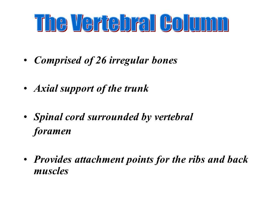 The Vertebral Column Comprised of 26 irregular bones