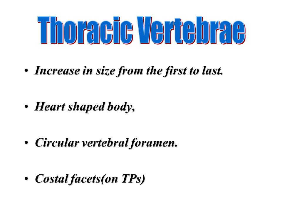 Thoracic Vertebrae Increase in size from the first to last.