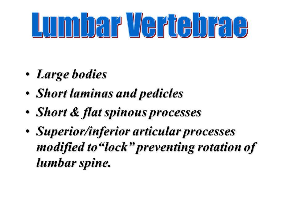 Lumbar Vertebrae Large bodies Short laminas and pedicles