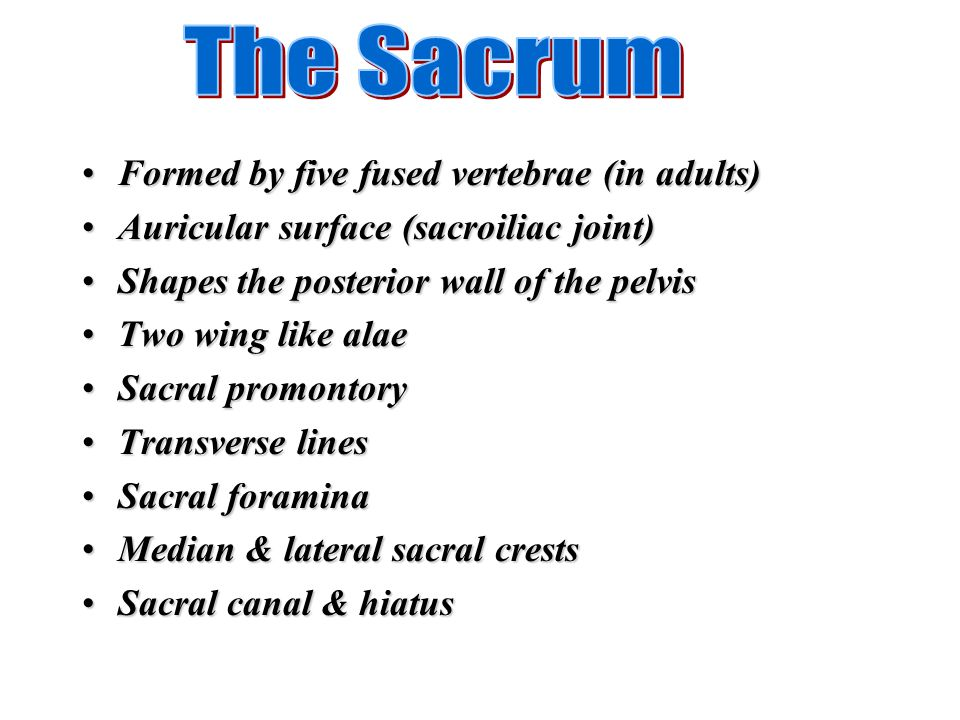 The Sacrum Formed by five fused vertebrae (in adults)