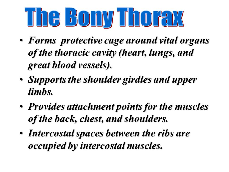 The Bony Thorax Forms protective cage around vital organs of the thoracic cavity (heart, lungs, and great blood vessels).