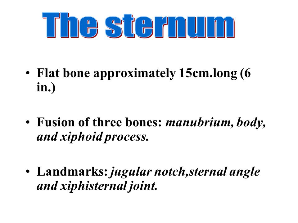 The sternum Flat bone approximately 15cm.long (6 in.)