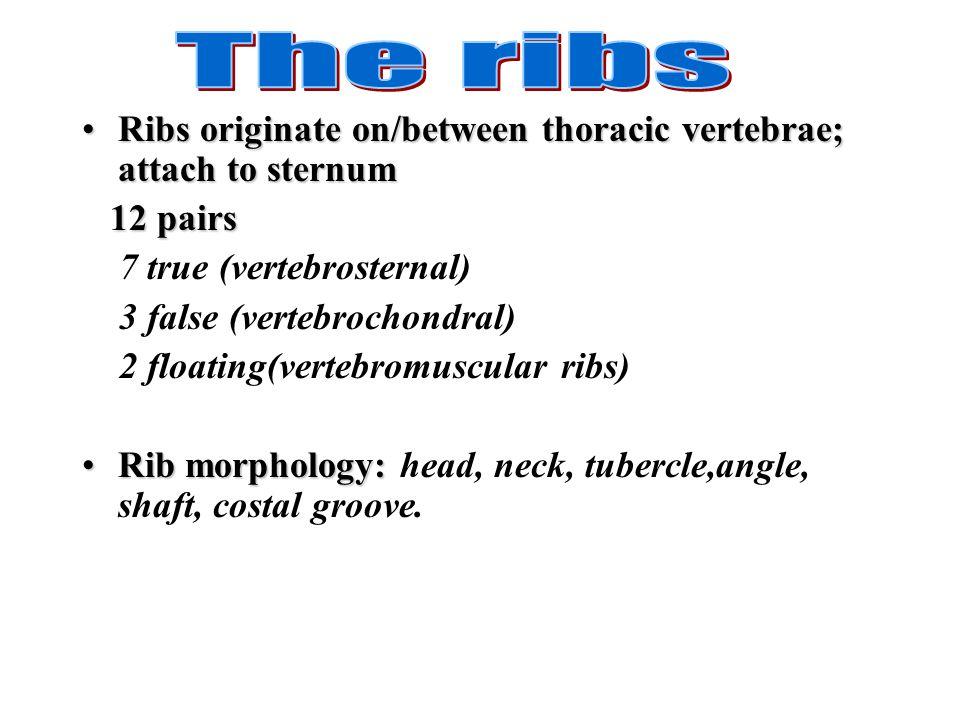 The ribs Ribs originate on/between thoracic vertebrae; attach to sternum. 12 pairs. 7 true (vertebrosternal)