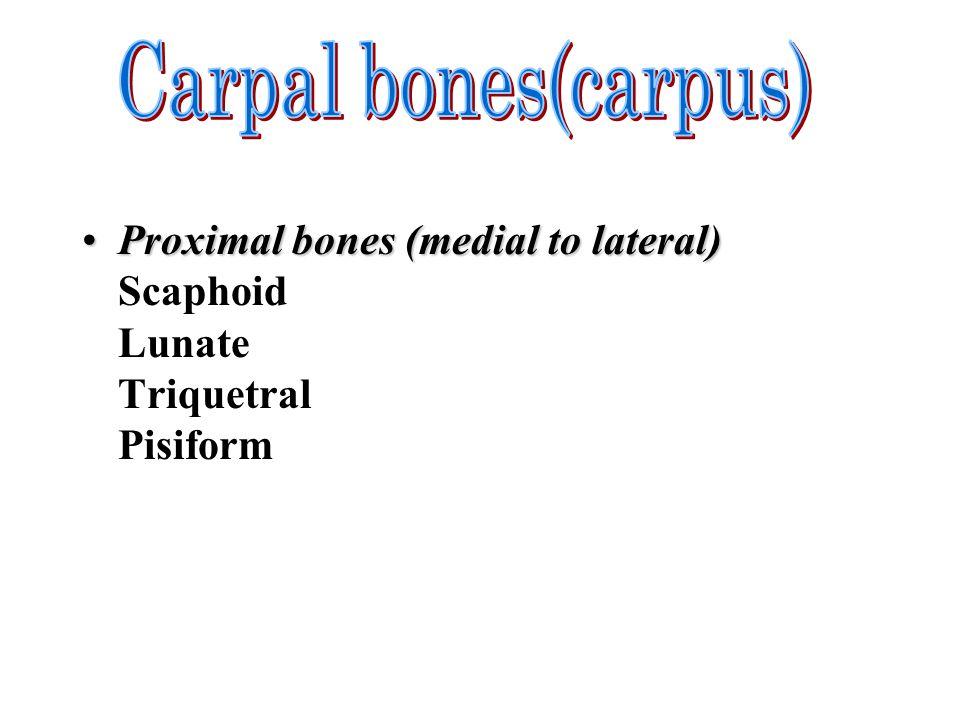 Carpal bones(carpus)