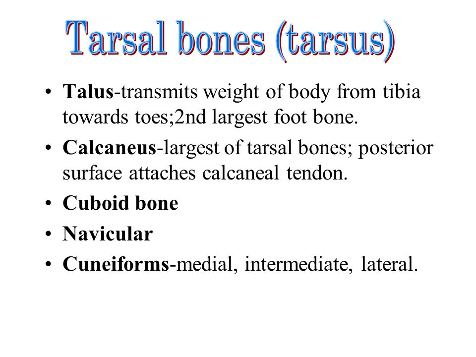 Tarsal bones (tarsus) Talus-transmits weight of body from tibia towards toes;2nd largest foot bone.