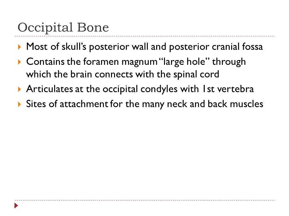 Occipital Bone Most of skull's posterior wall and posterior cranial fossa.